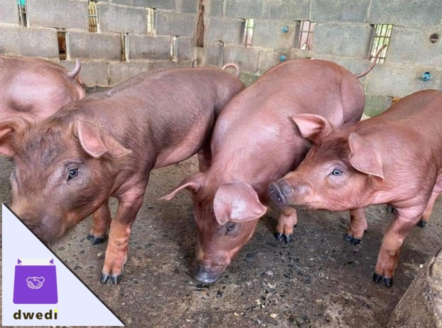 imported-pigs-for-sale-big-2
